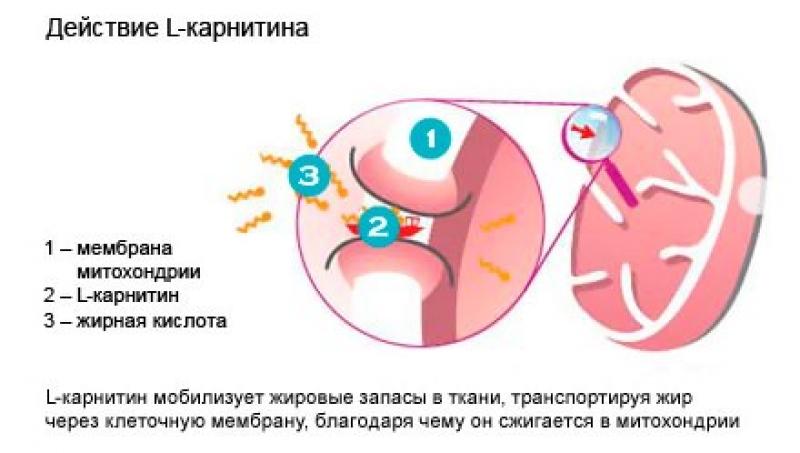 l karnitin L карнитин